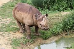 Rhinocéros noir (Passion Animaux & Photos) Tags: rhinoceros noir blackrhinoceros bioparc douelafontaine france