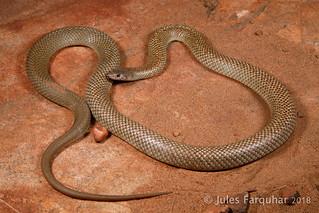 Kimberley Pygmy Mulga Snake (Pseudechis weigeli)