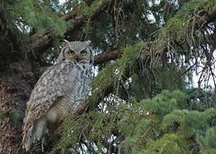 Great Horned Owl...#5 (Guy Lichter Photography - 4M views Thank you) Tags: owlgreathorned canon 5d3 canada manitoba winnipeg wildlife animals bird birds owl owls