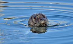 Mr. Whiskers (Snixy_85) Tags: seal frenchcreek