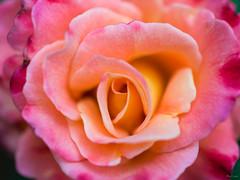 Rose (Phet Live) Tags: phet live macro ricoh gxr a12 50mm f25