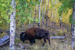 Where the Buffalo roam. (Bob C Images) Tags: bison buffalo trees aspens fall foilage animals grandtetons nature wyoming