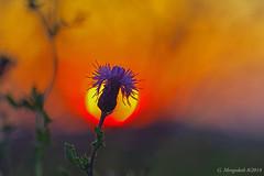 Guten Morgen (günter mengedoth) Tags: samyangoptics100mmf28edumcmacro samyang optics 100mm f28 ed umc macro pentaxk1 pentax manuell makro sonnenaufgang sonne sonnenlicht blüte silhouettephotography