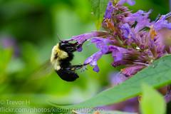 Bumblebee 2 (Kenjis9965) Tags: sony90mmf28gossmacro sonya7iii sony 90mm f28 g oss macro a7 iii insects flying feeding wasp bumblebee flower plants nature