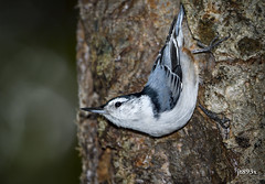 White-breasted Nuthatch (jt893x) Tags: 150600mm bird d500 jt893x nikond500 nuthatch sigma sigma150600mmf563dgoshsms sittacarolinensis songbird whitebreastednuthatch thesunshinegroup coth alittlebeauty coth5 ngc