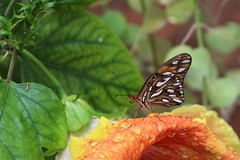 Butter fly on large flower (sgnelson2) Tags: tropical botanicalgarden tucson