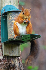 Red Squirrel (eric robb niven) Tags: ericrobbniven scotland redsquirrel wildlife nature dundee springwatch