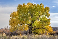 *Fall in the Fremont River Valley* (Albert Wirtz @ Landscape and Nature Photography) Tags: albertwirtz utah usa america amerika herbst fall autumn autunno natur nature natura landscape paesaggi paysage paisaje campo campagne campagna usasouthwest yellow gelb capitolreefnp hanksville ut24 fremontrivervalley nikon d810 solitärbaum solitarytree tree baum herbstfärbung laubfärbung fallfoliage foliage solitarycottonwoodtree wilderness wildnis waynecounty vereinigtestaaten unitedstates caineville pappel amerikanischepappel cottonwood