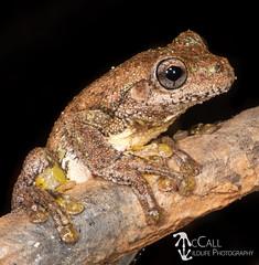 Peron's or Emerald-spotted Tree Frog (Litoria peronii) (ahmccall) Tags: herp amphibian frog 2018 australia queensland tamborinemountain wildlife