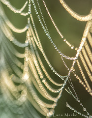 pearls (LanaScape Photos) Tags: typical alt web spider firstlight outdoors ohio