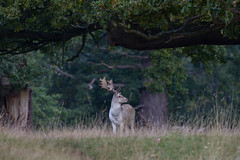 Fallow Deer (darren.h88) Tags: deer fallowdeer woburn woburnabbey woburndeerpark bedfordshire autumn uk wildlife landscape wildscape canon canon7d
