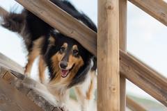 40/52 Leia & Hey! (shila009) Tags: leia perro dog roughcollie portrait beach retrato playa 4052