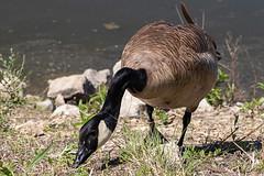 Canada goose (vyhphotography) Tags: canoneos80d kansas wichita river arkansasriver goose