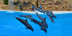 Seven is the number of completeness and perfection (Basse911) Tags: dolphins delfiner loroparque tenerife teneriffa captivity islascanarias canaryislands