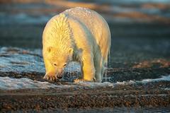 Drip Drying Polar Bear (Glatz Nature Photography) Tags: alaska barterisland glatznaturephotography kaktovik northamerica northslope arcticalaska arctic polarbear nanuk nanuq nanook ursusmaritimus animal mammal nikond850 eyecontact eyelevelview wet ice drip arcticnationalwildliferefuge wildanimal wildbear nature naturephotography wildlifephotography