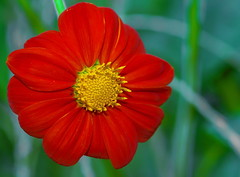 Mexican Sunflower (Tithonia diversifolia) (tkclip47) Tags: mexican sunflower flower plant garden bloom red yellow tithoniadiversifolia asteraceae coth coth5