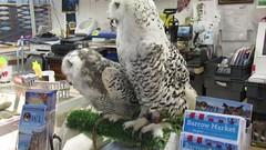 A world exclusive (billnbenj) Tags: barrow cumbria video owl snowyowl raptor birdofprey