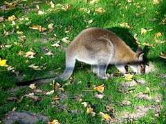 born_078 (OurTravelPics.com) Tags: born wallaby kasteelpark zoo