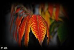 Autumn colours (Els Herten) Tags: autumn fall sumac tree leaf leaves colour macro