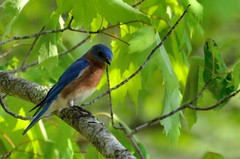2018 05 10 033 Gassaway, WV (Mark Baker.) Tags: 2018 america baker east mark may north us usa virginia wv west american bird bluebird day eastern outdoor photo photograph picsmark rural spring states united wildlife