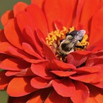 Zinnia with Common Eastern Bumble Bee (Bombus impatiens) thumbnail