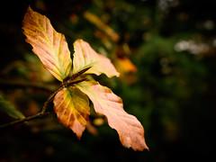 autumn- black 'n tan against the green (grahamrobb888) Tags: autumn birnamwood homegarden home wood woods woodland perthshire scotland nikon nikkor nikond500 nikkor20mmf18 d500 leaves tan brown glow bokeh