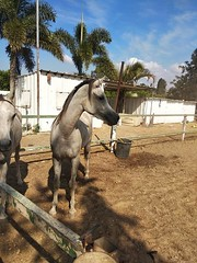 14 (redi3103) Tags: egyptian arabian horse for sale buy champion