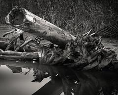 gnarled (rockpowered) Tags: analog film scanner intrepid 210mm rpx25 leslie spit 4x5 large format toronto tree