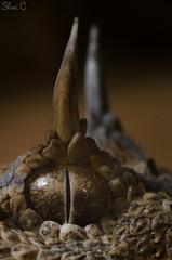 The eye of the viper (Cerastes cerastes) - עכן חרטומים (shanicy) Tags: snake reptiles herping macro extrememacro horns desert cool