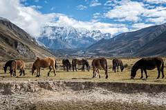 Horses and mules grazing in Chozo - Lunana Gewog - Gasa District - Snowman Trek - Bhutan (PascalBo) Tags: nikon d500 asie asia southasia asiedusud drukyul drukgyalkhap bhutan bhoutan འབྲུག་ཡུལ། འབྲུག་རྒྱལ་ཁབ་ snowman trek trekking hike hiking lunana gasa himalaya himalayas jigmedorjinationalpark mountain montagne horse mule animal snow neige outdoor outdoors pascalboegli