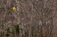 A little yellow and a little green (tskogset) Tags: green grass yellow leaves branches autumn contrast nature flickr forest bismo harsheimlia skjåk norway reinheimen pentaxk5lls hdpentaxdfa28105mmf3556eddcwr