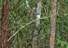 Forest Kingfisher (James_Preece) Tags: forestkingfisher alcedinidae m43 todiramphusmacleayii kingfisher