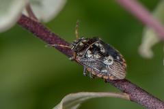 D75_5134 (crispiks) Tags: its bugs life nikon d750 105 micro 28 wodonga north east victoria macro close up insects sb r1c1