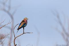 Lilac Breasted Roller (leendert3) Tags: leonmolenaar southafrica krugernationalpark wildlife nature birds lilacbreastedroller naturethrughthelens ngc coth5 npc