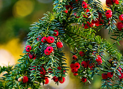 Abercorn 17 October 2018 00018.jpg (JamesPDeans.co.uk) Tags: autumn yew forthemanwhohaseverything fruittrees season abercorn printsforsale westlothian colour berries red nature unitedkingdom plants trees scotland britain fruit jamespdeansphotography wwwjamespdeanscouk gb greatbritain landscapeforwalls lothian europe uk digitaldownloadsforlicence