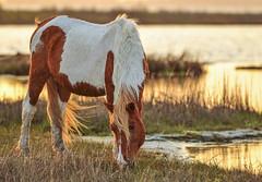 Assateaque Beauty by Alan Wilder (Maryland DNR) Tags: 2018 photocontest wildlife mammal ponies spring assateague horses marsh