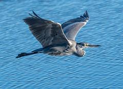 Rainham Flying Grey Heron