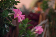 Dipladenia sur la clôture (Gisou68Fr) Tags: dipladenia mandevilla fleur flower rose pink fence clôture turckheim alsace hautrhin france 68