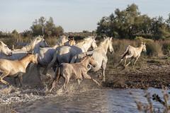 Terre! (Xtian du Gard) Tags: xtiandugard chevaux poulain nature animaux camargue provence france eau water eclaboussures rivage berge cavalcade ouf