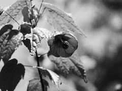 El jardín en B&N: abutilón (Andres Bertens) Tags: 4185 olympusem10markii olympusomdem10markii olympusm40150mmf4056r olympusmzuikodigitaled40150mmf4056r rawtherapee blackandwhite bw abutilon indianmallow