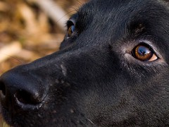 Here Boy! (SweetCreek) Tags: black lab labrador retriever eyes reflection detailed ready playing happy dog puppy cute 50mm