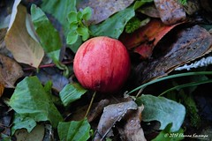 Ορεινή Αρκαδία Mountainous Arcadia (Eleanna Kounoupa) Tags: ελλάδα πελοπόννησοσ αρκαδία ανωδολιανά φύση φθινόπωρο βουνό greece peloponnese arkadia anodoliana nature autumn mountain μήλο καρπόσ apple fruit φρούτα κόκκινο red closeup