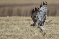 Talons Down (Bill G Moore) Tags: naturephotography birdofprey redtailhawk wild wildlife talons colorado canon raptor