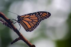 Monarch (Arijit_Roy) Tags: butterfly monarch macro insect toronto ontario brampton