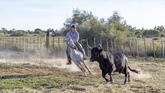 Manadier au travail (Xtian du Gard) Tags: xtiandugard camargue provence france cheval taureau manadier course nature