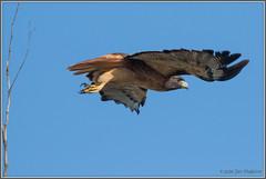 Red-Tail Launch 0440 (maguire33@verizon.net) Tags: bif pradoregionalpark redtailedhawk bird birdofprey hawk raptor wildlife