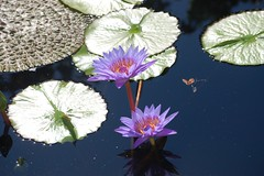 Purple water lilies (mmcpix) Tags: purple waterlily water lily chicagobotanicgarden chicago pool sunlight sparkling flowers enjoyilliois