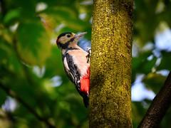 Picchio rosso maschio (lucamarasca1) Tags: picchiorosso aviary fauna avifauna nature birds birdwatching