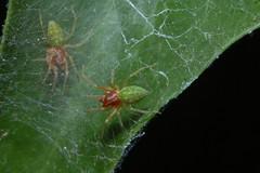 Nigma walckenaeri (m)  Arachtober 5 (Procrustes2007) Tags: spider nigmawalckenaeri macro male arachnid arachtober littlegreenfurry greeenleafspider nikond50 sudbury suffolk uk