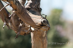 Rama de Eucaliptus (Joaquim F. P.) Tags: camaleón parcdelatorredendolça joaquimfp tarragona vilaseca flora pareidolia eucaliptus salou españa forma rama